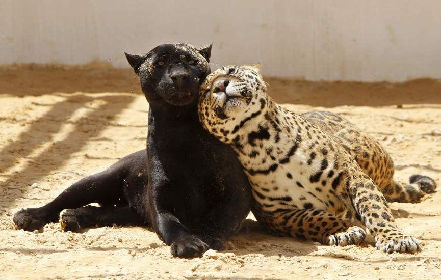 Jaguar está en riesgo de extinción por tala ilegal de su ha