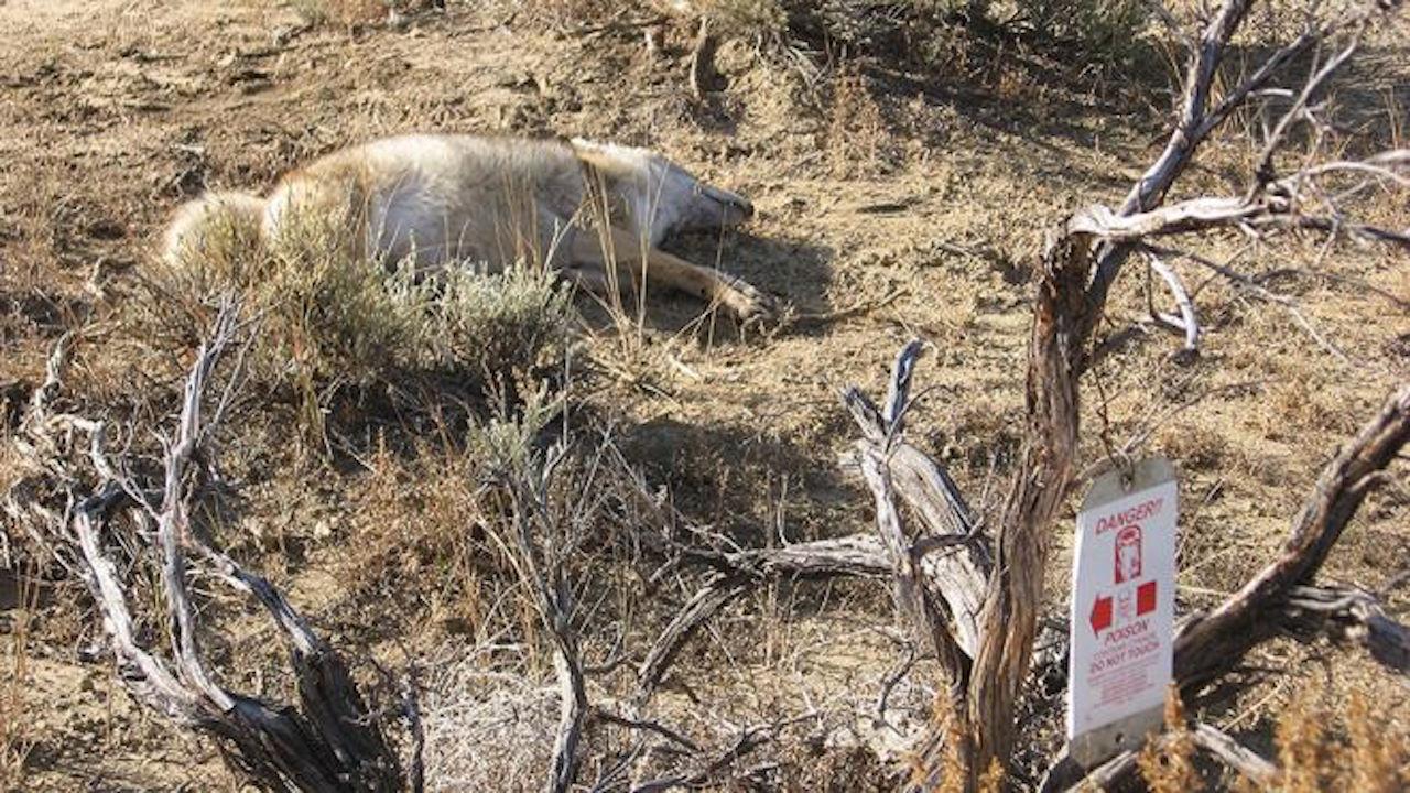 Estados Unidos utiliza bombas de cianuro para matar animales salvajes