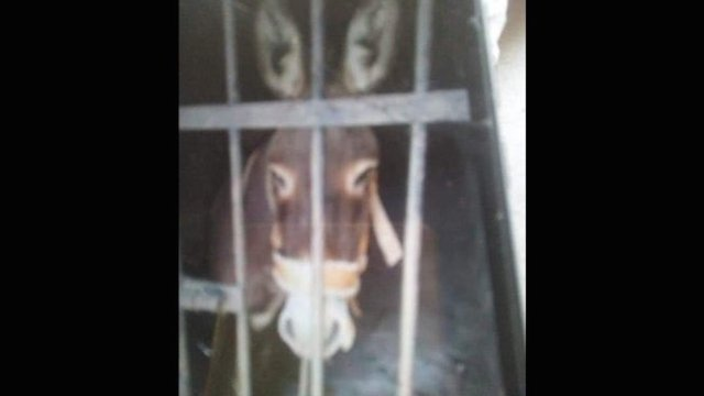 En Oaxaca encarcelan a un burro