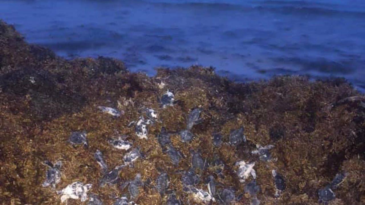 Tortugas mueren por la presencia de sargazo