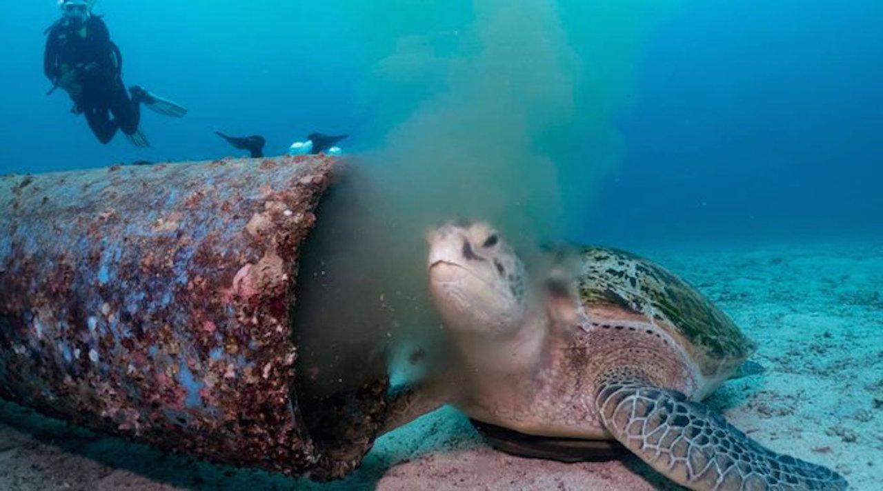 En un video se ve cómo una tortuga marina se alimenta de desechos