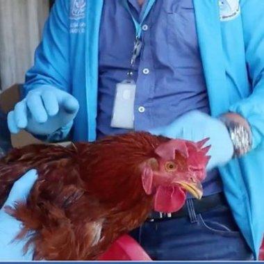 Rescataron a tres gallos de su dueño que abusaba sexualmente de sus animales