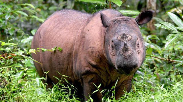 Rinoceronte Sumatra, Extinción, Muere, Malasia