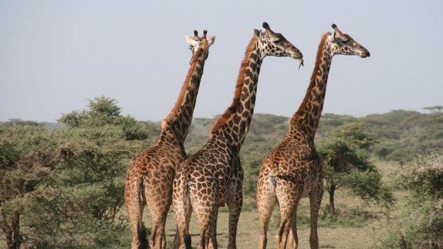 Una jirafa aplastó a un turista en un safari en África