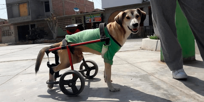Roban silla de ruedas a un perrito discapacitado en Nuevo Chimbote, Peru
