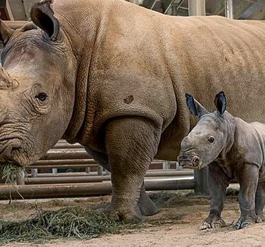 Nace, Rinoceronte, Blanco, Cien