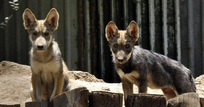 Crias de lobo mexicano que afortunadamente podría salvarse de la extinción