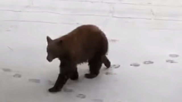 Video de un oso entrando a una camioneta en California
