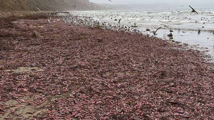 Investigan llegada de miles de peces con forma fálica a playa de California