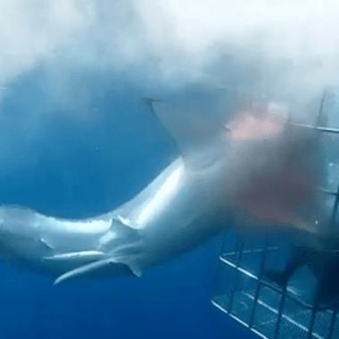 Tiburon Blanco Muere Desangrado Tras Quedar Atorado En Una Jaula Durante Veinticinco Minutos
