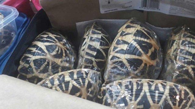 95 tortugas de una especie protegida viajaban en una maleta envueltas en plástico
