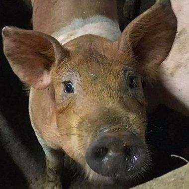 En Irlanda unos cerdos se comieron entre sí por hambre