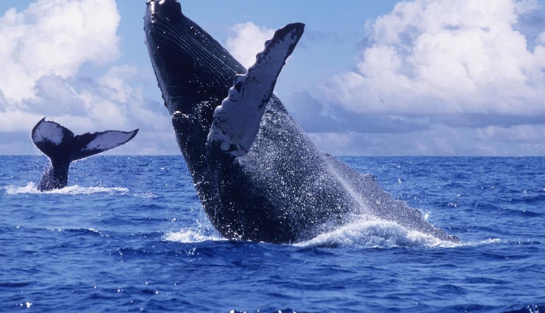 Nacen 14 ballenas grises en Baja California Sur.