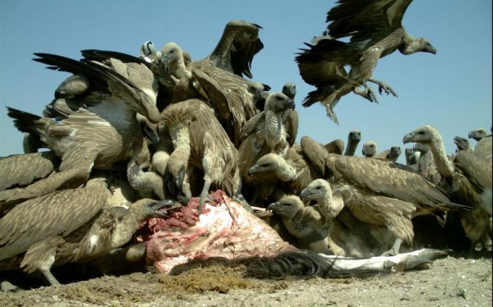 Envenenan buitres en peligro de extinción en Zimbaue