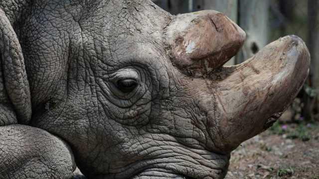 Crean Embrión Para Salvar a Rinoceronte Blanco Norteño De La Extinción