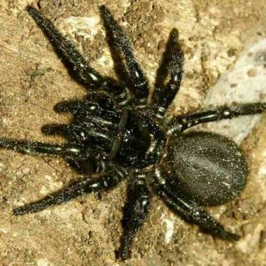 Australia En Alerta Por Invasión De Arañas Venenosas
