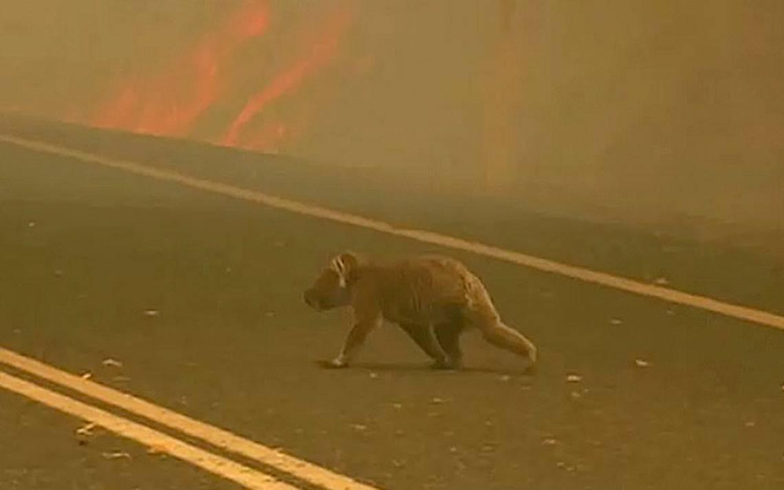 Bombero rescata a koalas de incendio en Australia.