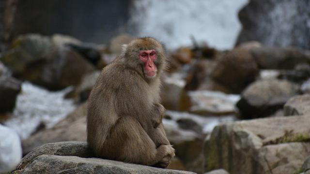 Macacos-Herpes-Estados-Unidos
