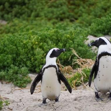 Pingüinos africanos tienen lenguaje similar al de los humanos