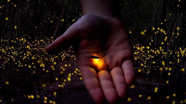 Declaran a las luciérnagas en peligro de extinción