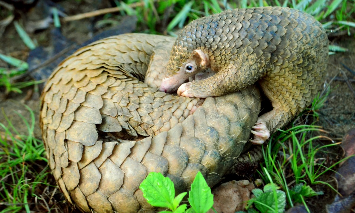 Pangolin, Coronavirus, Origen, China