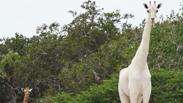 Jirafa, Blanca, Cazadores, Kenya
