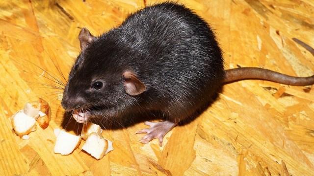 Coronavirus, Ratas, Canibalismo, Cuarentena