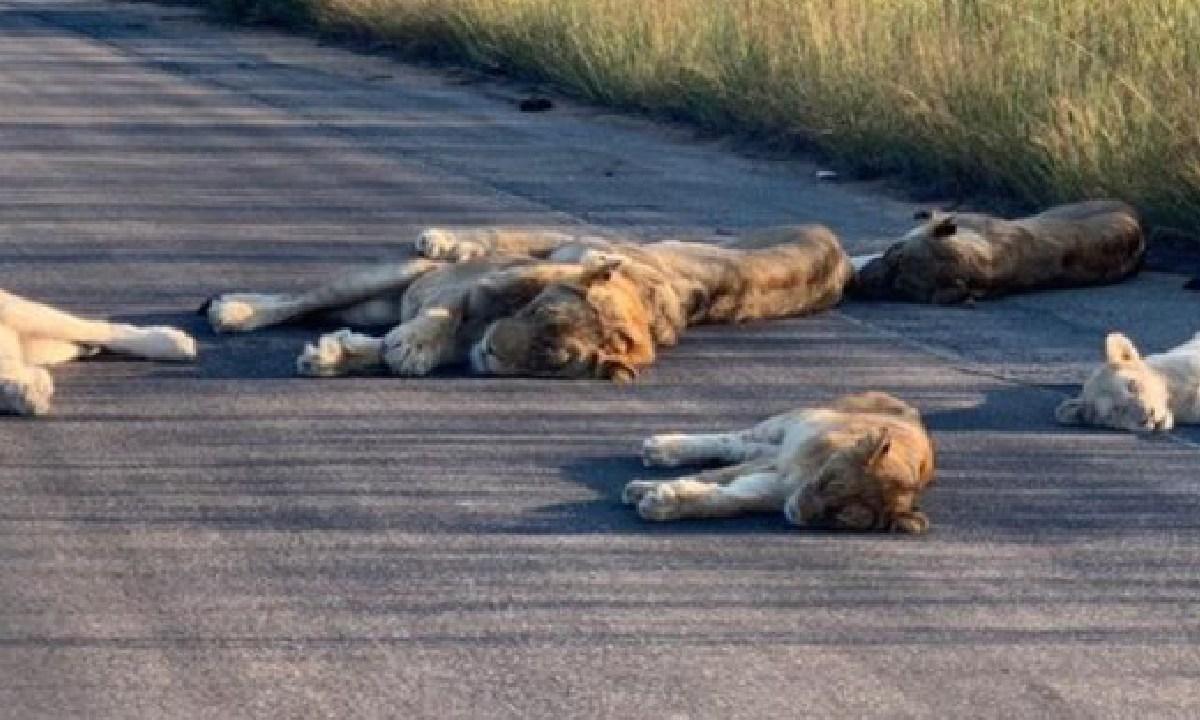 Leones, Pasean, Duermen, Sudafrica