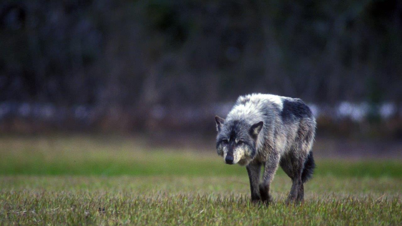 Asesinados por cazadores casi todos los lobos en isla de Alaska