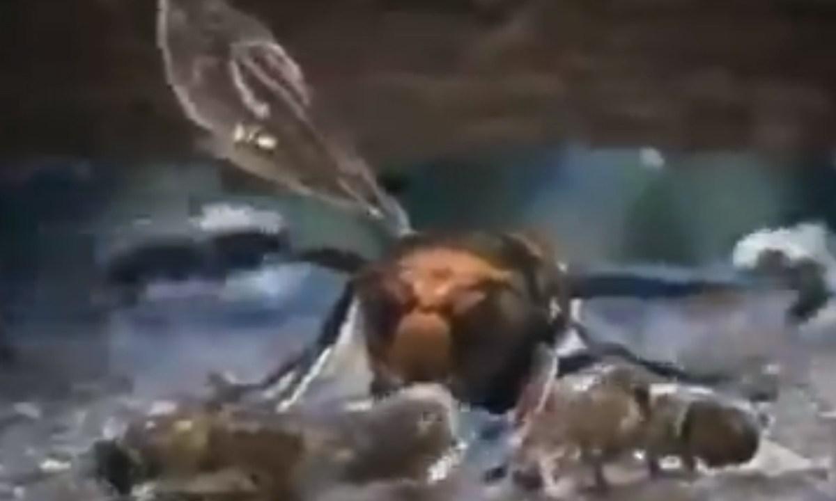 Abejas, Abejorro Gigante, Video, Japón