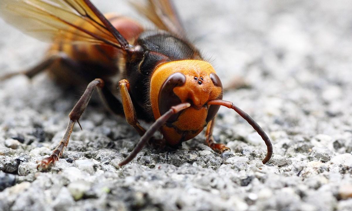 Avispón gigante asesino preocupa a los apicultores de la zona