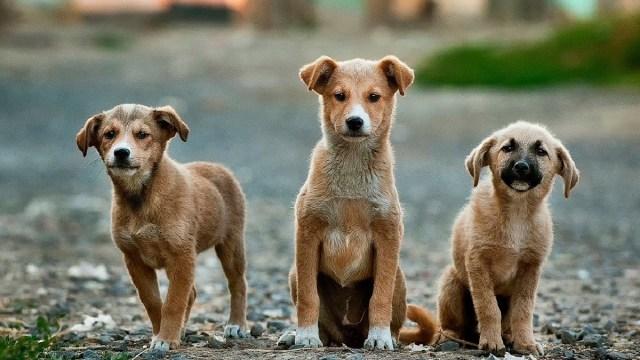 Perros, Adopcion, Distancia, Coronavirus