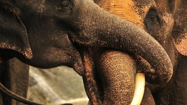elefantes-desempleados-tailandia-regresan-habitats-coronavirus