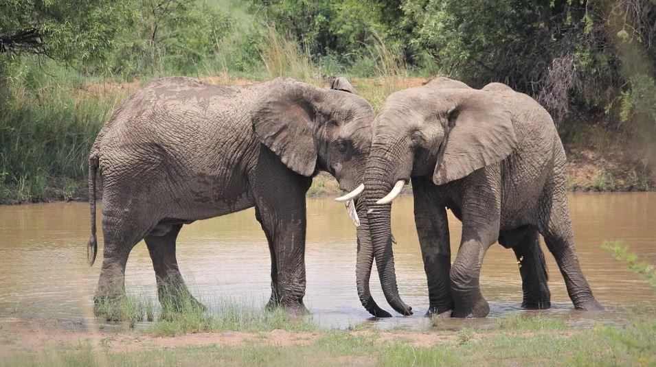 Por qué elefantes y otros mamíferos se emborrachan tan fácilmente