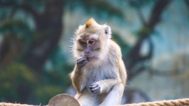 El macaco rhesus podría ser clave en vacuna contra el coronavirus