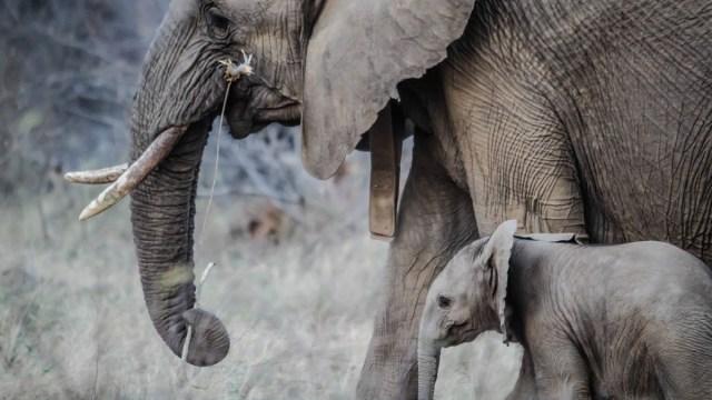 Elefantes, Torturados Turistas, Tailandia