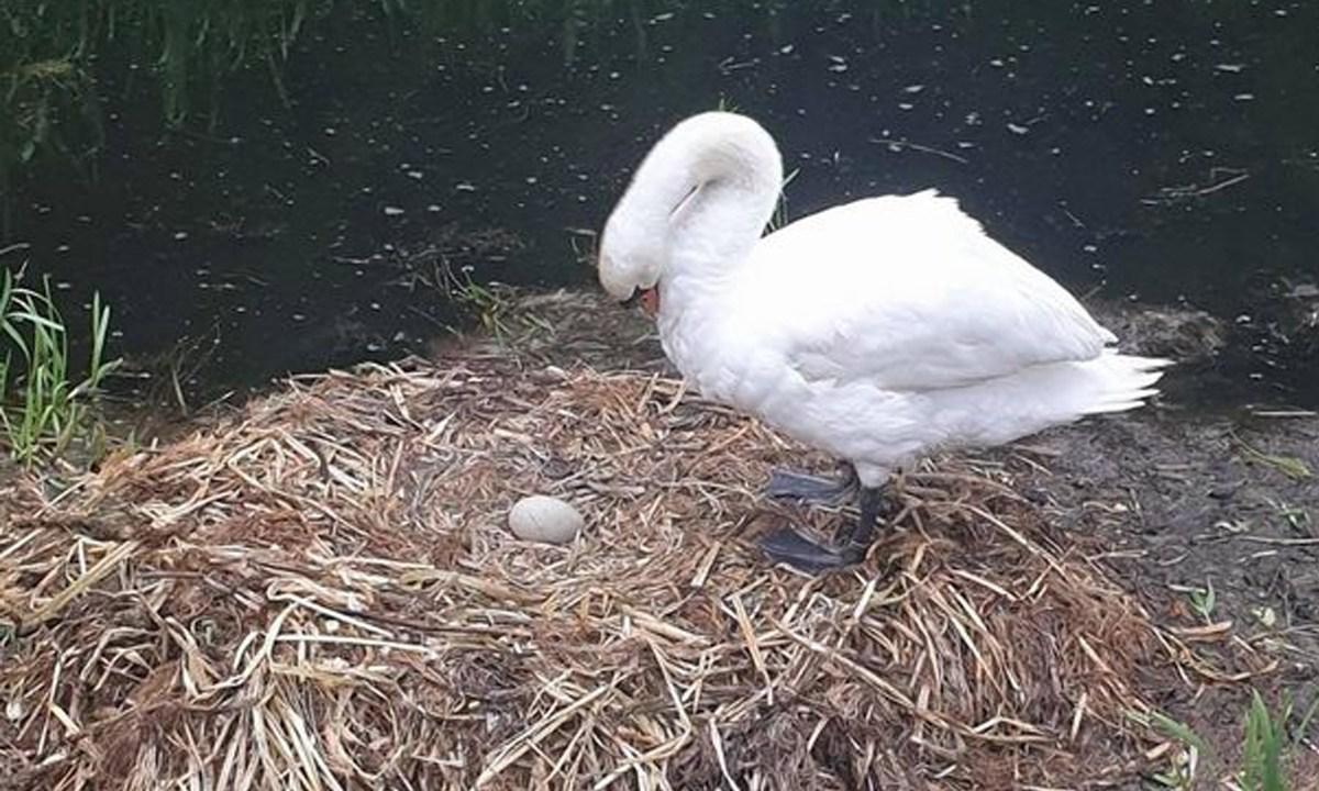 cisne-muere-corazon-roto-nidos-huevos