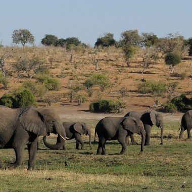 Mueren 110 elefantes en Botsuana y, hasta ahora, nadie sabe por qué