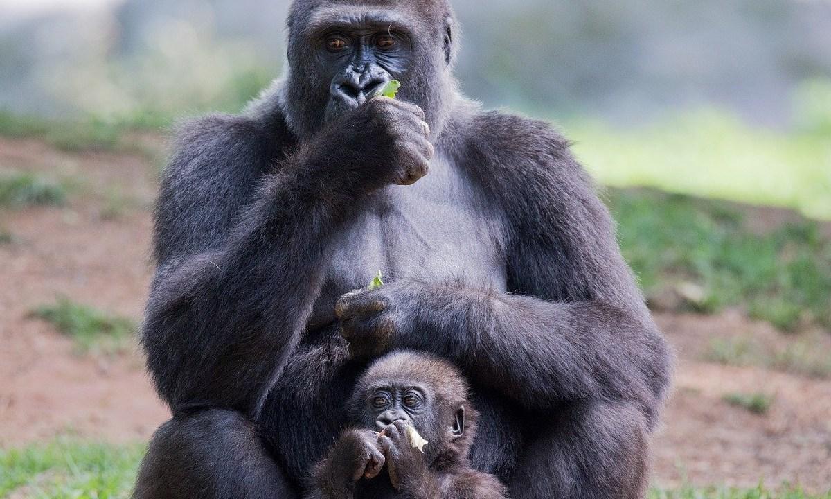 Fotografiaron cachorrros de gorilas en su habitat, Se llegó a creer que sólo habían 300 ejemplares de gorila occidental