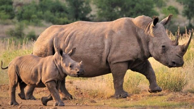 Presentaron al rinoceronte blanco que nació en Latinoamérica