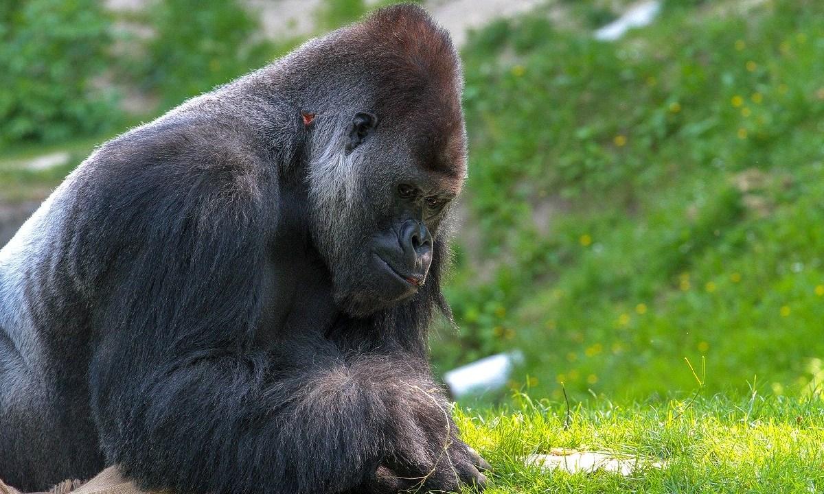 Encarcelaron al asesino de Rafiki, el gorila espalda plateada, el asesino podría pasar 11 años en la cárcel