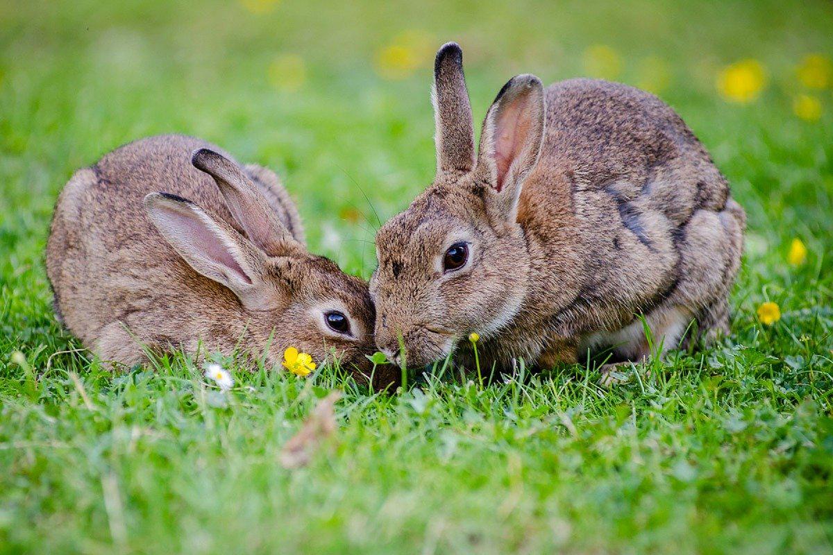Muchos conejos están muriendo por la ébola de conejos- Una epidemia que azota el sur de Estados Unidos
