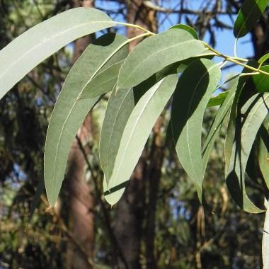Las autoridades de Indonesia sostienen que el collar de eucalipto puede acabar con el coronavirus SARS-Cov-2