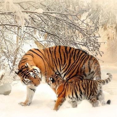 El número de tigres en peligro de extinción está aumentando en cinco países de acuerdo con conservacionistas