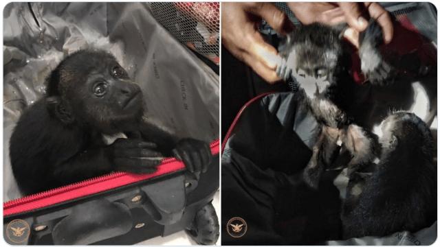 Monos araña y aulladores rescatados por la Guardia Nacional en Chihuahua y San Luis Potosí
