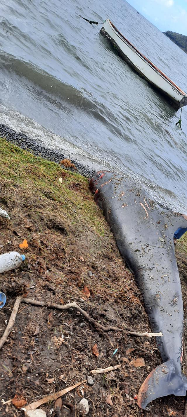 Por lo menos 13 delfines han muerto luego del accidente del buque japonés en las costas de Mauricio y que causó un derrame de petróleo