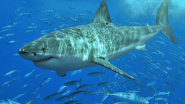 La Conanp busca que se usen drones para proteger el santuario del tiburón blanco en Baja California ante la amenaza de los pritas chinos
