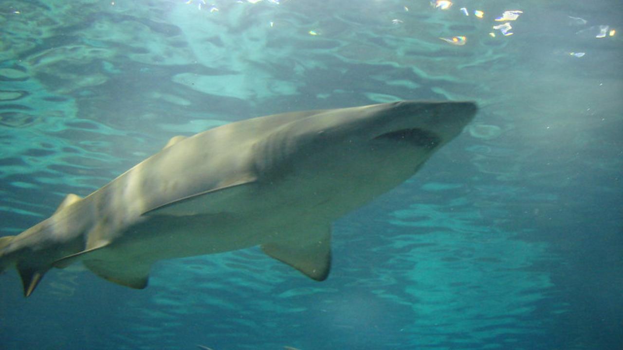 Alertan tiburones víctimas indirectas COVID-19