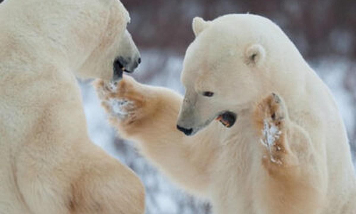 Oso polar mata a hombre que dormía en una tienda de campaña