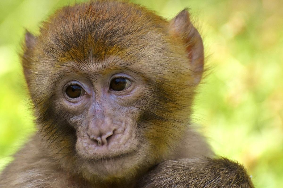 Las fotos muestran a los monos con varillas pegadas con cemento en la cabeza como parte de experimentos cerebrales 'crueles'